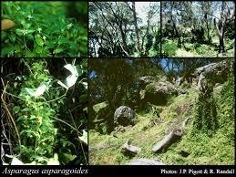 Asparagus asparagoides (L.) Druce: FloraBase: Flora of Western ...