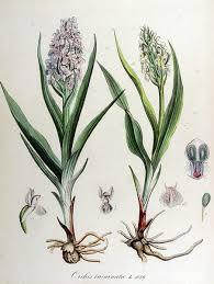 File:Orchis incarnata — Flora Batava — Volume v14.jpg - Wikimedia ...