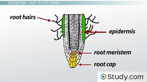 root system growth the root cap primary roots lateral roots primary root tissue root hairs and the plant vascular cylinder