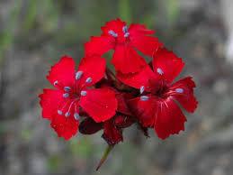 File:Dianthus carthusianorum subsp. sanguineus 2.jpg - Wikimedia ...