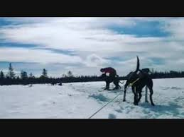 SledDogSport | ошейники, шлейки для собак.'s Videos | VK