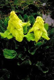 Polygonaceae in Flora of China @ efloras.org