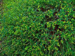 Euphorbia spinosa – Wikipedia