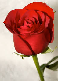 Image result for images of red rose