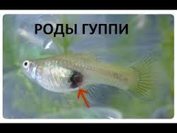 ГУППИ РОЖАЕТ роды аквариумных рыбок, роды живородящих ...