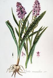 File:Orchis maculata — Flora Batava — Volume v7.jpg - Wikimedia ...