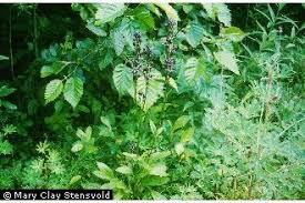 Plants Profile for Swertia perennis (felwort)