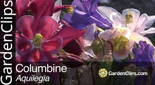 Image result for Aquilegia species columbine