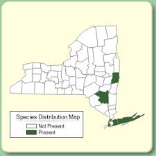 Yucca filamentosa - Species Page - NYFA: New York Flora Atlas