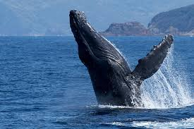 「奄美 クジラ」の画像検索結果