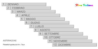 Pilosella hypoleuca [Sparviere biancastro] - Flora Italiana