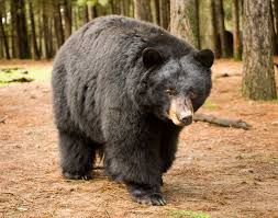 Image result for black bear
