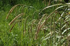 Carex pendula Calflora