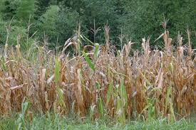 <b>Summer</b> crops in central <b>Europe</b> in poor condition following ...