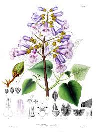 Paulownia tomentosa - Wikipedia
