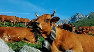 """Résultat de recherche d'images pour """"vache tarentaise"""""""