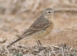 GRAYISH BIRDS-under 9