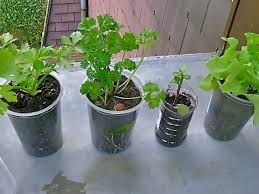 Kitchen Windowsill Herb Garden Windowsill Gardening For Houses And Schools In Desertified Regions