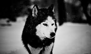 """Résultat de recherche d'images pour """"loup blanc et noir"""""""