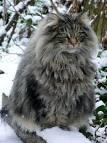 coon cat