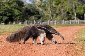 Image result for American Giant Anteater