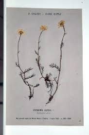 Erbario Ariosto - Achillea barrelieri Ten. subsp. oxyloba (DC.) F ...