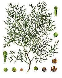 Tetraclinis - Viquipèdia, l'enciclopèdia lliure