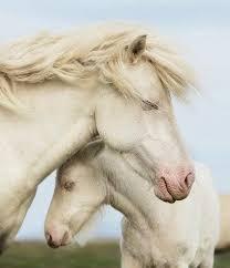 Resultado de imagen de caballos blancos