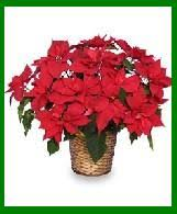 Caring For Poinsettias – The Christmas Flower