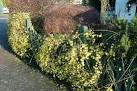 Jasmin d hiver - Plantes et Jardins