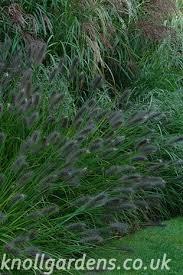 Pennisetum <b>Red Head</b> – Knoll Gardens | Ornamental Grasses and ...