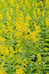 Images & Illustrations of broad leaved goldenrod