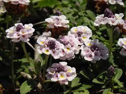 Phyla nodiflora - Wikipedia
