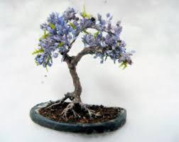 blue jacaranda tree bonsai tree seeds grow your own 5 seeds bonsai tree for office