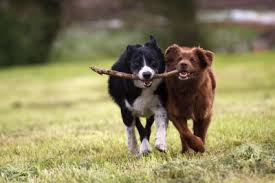 Image result for small dogs that retrieve