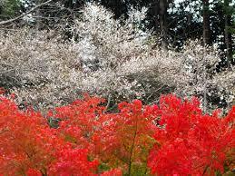 Enjoy Cherry Blossoms in <b>Autumn</b> in <b>Japan 2018</b> - <b>Japan</b> Web ...