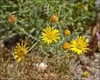 yellow spiny daisy