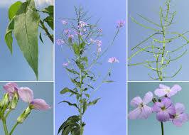 Hesperis matronalis L. subsp. matronalis - Sistema informativo sulla ...