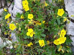Helianthemum nummularium - Wikipedia