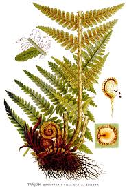 Dryopteris - Wikipedia