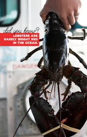 Red Lobster Lincoln Ne 1000 Images About Lobsters And Lobstering On Pinterest Lobster
