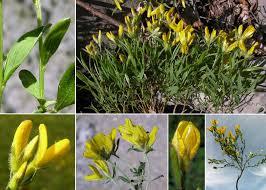 Genista sericea Wulfen subsp. sericea - Portale sulla flora del Parco ...