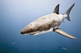synapse science magazine jaws the impact of media on shark it is true that jaws is based on real events the jersey shore attacks of 1916 these attacks involved four fatalities and one injury during the summer of