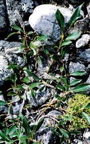 Salix planifolia - Wikipedia