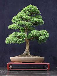 chinese elm save learn more at artofbonsaiorg chinese elm bonsai tree