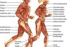 the human body diagram online   gethumananatomy comhuman body muscular system