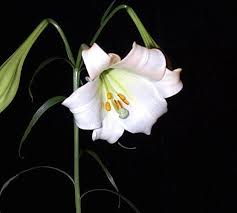 Billedresultat for lilium