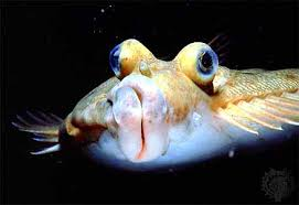 Image result for flounder metamorphosis