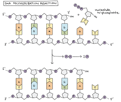 molecular mechanism of dna replication article khan academy dna polymerization reaction