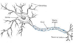 Neuron Diagram within the Brain